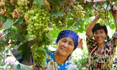 Особенности виноделия в Узбекистане
